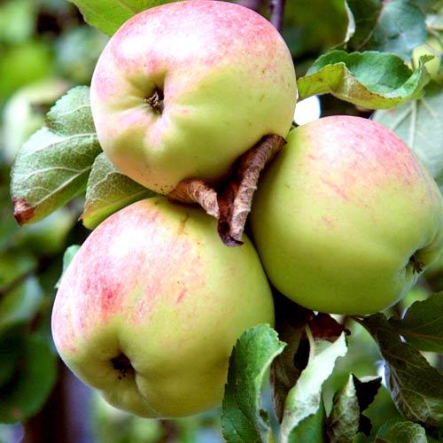 Сорт яблок Антоновка десертное описание, фото, отзывы