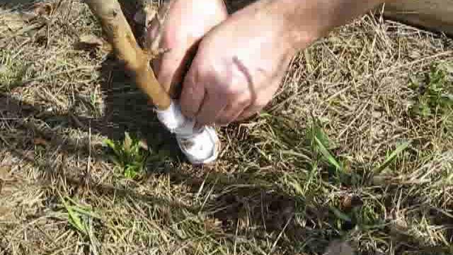 Что делать если зайцы погрызли зимой яблоню
