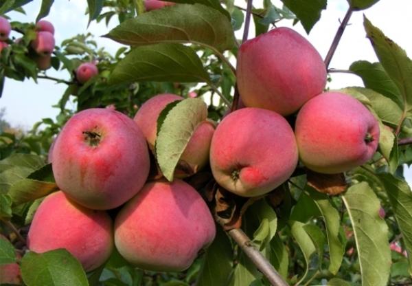 Агроном: Богатый витаминами сорт яблок Орловский кандиль в 2019 году