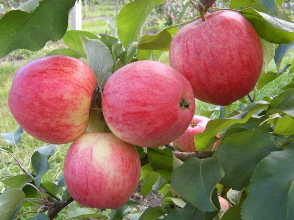 Сорт яблок Орловим описание, фото, отзывы