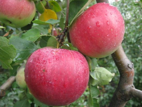 Яблоня вишневое описание сорта