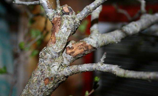 Что делать, если у яблони отваливается кора — быстрая помощь