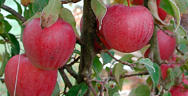 Сорт яблок Пепин Шафранный описание, фото, отзывы