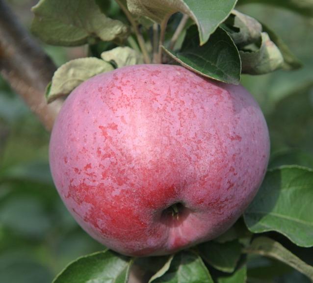 Яблоня подарок Графскому - описание сорта, посадка и уход