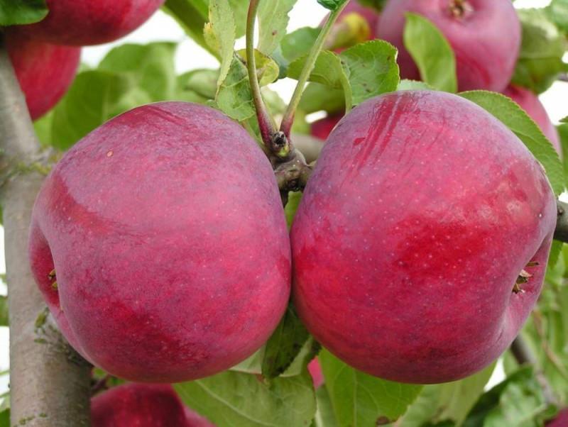Описание канадского сорта яблони Макинтош