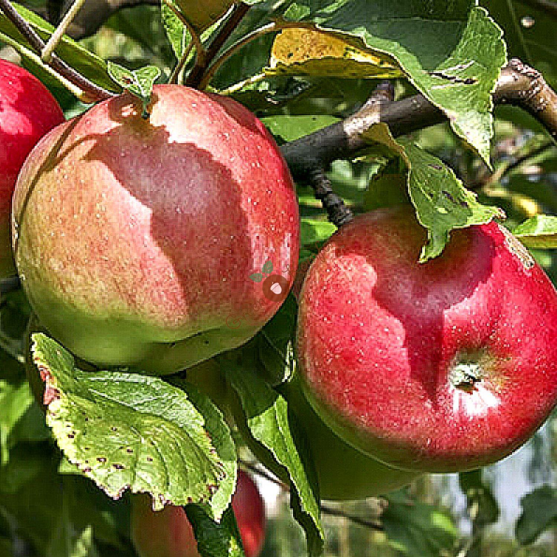 Сорта яблонь картинки описание
