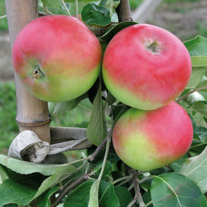 Яблоня Женева описание и характеристики сорта сроки посадки и выращивание