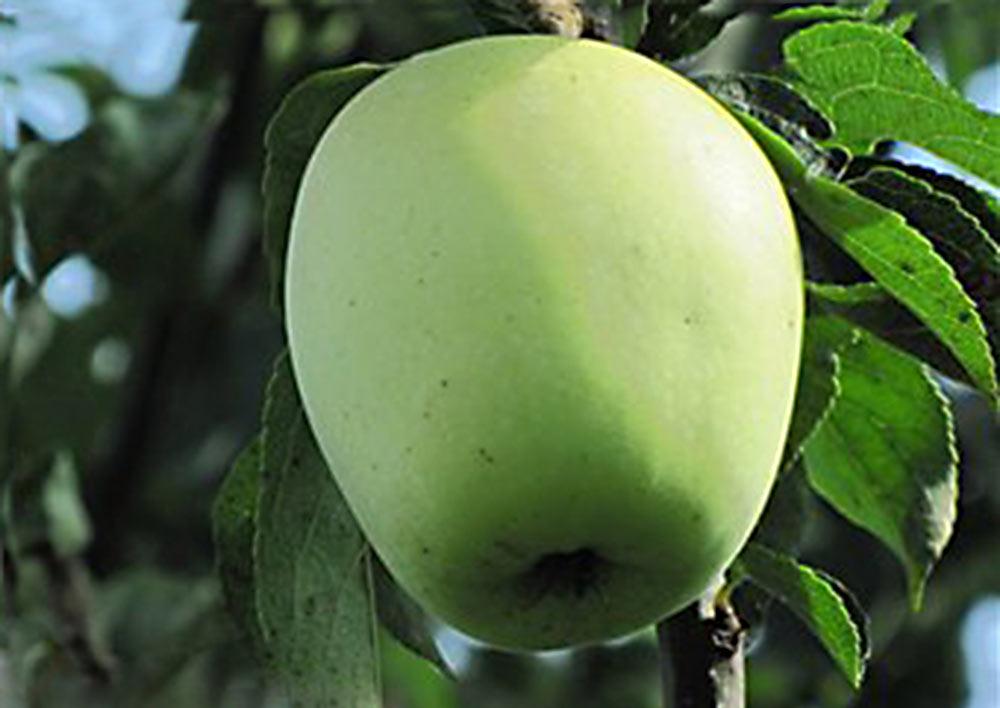 Яблоня сахарный аркад описание фото
